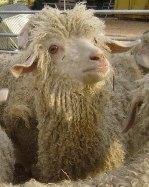 mouton angora