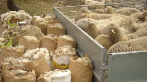 la laine mérinos